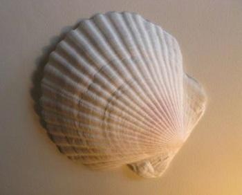ホタテ貝殻横長