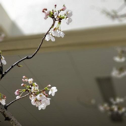 2018年春0323桜1