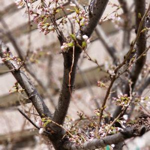 2018年春0323桜4